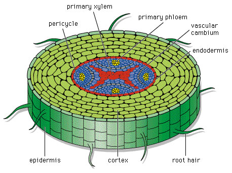 Struktur Morfologi Dan Anatomi Akar Tumbuhan